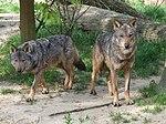 Canis lupus signatus (Kerkrade Zoo) 20.jpg