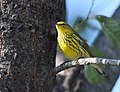 Cape May Warbler (37700884171).jpg