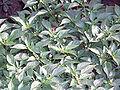 CapsicumFrutescens3.jpg