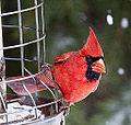 Cardinal 2 (5335754540).jpg