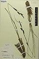 Carex elata herbarium (05).jpg