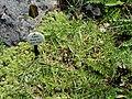 Carex firma - Botanical Garden, University of Frankfurt - DSC02652.JPG