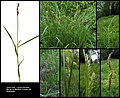 Carex hirta (01).jpg