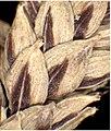 Carex pendula inflorescens (70).jpg
