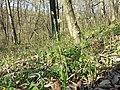 Carex pilosa sl17.jpg