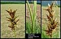 Carex spicata (1).jpg