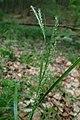 Carex strigosa kz05.jpg