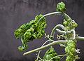 Carica papaya young leaf.jpg