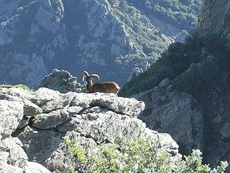 Haut-Languedoc Regional Nature Park - A mouflon in the park.