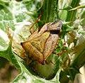 Carpocoris mediterraneus - Flickr - gailhampshire (5).jpg