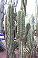 Caryophyllales - Carnegiea gigantea - 2.jpg