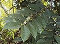Castanospermum australe 01.JPG
