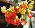 Castanospermum australe flower 1.jpg