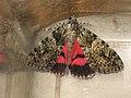 Catocala promissa - Light crimson underwing - Орденская лента малая красная (40824054882).jpg