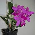 Cattleya 嘉德莉亞蘭 - panoramio.jpg