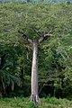 Ceiba (Ceiba pentandra) (14366860940).jpg