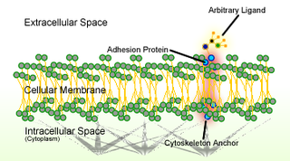 Cell adhesion Process of cell attachment