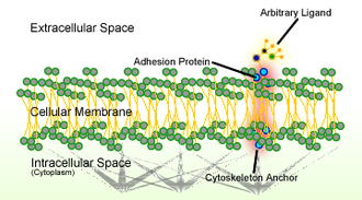 Cell adhesion - Schematic of cell adhesion