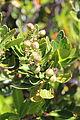 Cenarrhenes nitida fruit tim shea (SA).JPG
