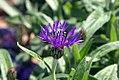 Centaurea montana 1zz.jpg