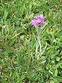 Centaurea uniflora001.jpg