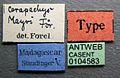 Cerapachys mayri casent0104583 label 1.jpg