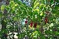 Cercis occidentalis Western Redbud კალიფორნიის არღავანი.JPG