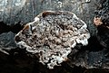 Cerioporus mollis 828452.jpg