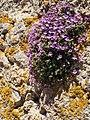 Chaenorhinum origanifolium (18733515673).jpg