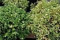 Chamaecyparis pisifera Silver Lode 2zz.jpg