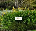 Chasmanthe floribunda var duckittii, habitus, Kirstenbosch NBT.jpg