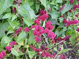 Strawberry Blite (Chenopodium capitatum)