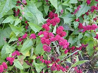 <i>Blitum capitatum</i> species of plant