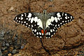 Chequeredswallowtail.jpg
