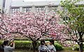 """Cherry-Blossom-Viewing through the """"Tunnel"""" at Japan Mint in 201504 030.JPG"""