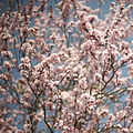 Cherry Blossom (3370516951).jpg