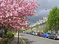 Cherry Blossom in the West End of Aberdeen - geograph.org.uk - 94048.jpg