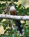 Chestnut-bellied Cuckoo 2506091171 (cropped).jpg