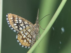 File:Chiasmia clathrata -2013-07-25.webm