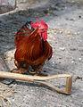 Chicken at Colgate West Sussex England 02.JPG
