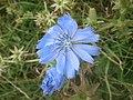 Chicory (37007264813).jpg