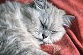 Chinchilla cat sleeping (3732113765).jpg