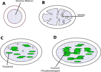 Chloroplast – Wikipedia