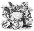 Chou-fleur Lenormand à pied court Vilmorin-Andrieux 1883.png