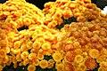 Chrysanthemum Olivia 1zz.jpg