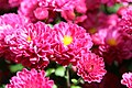 Chrysanthemum x grandiflorum Marjorie 0zz.jpg