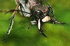 Cicindela hybrida claws Richard Bartz.jpg