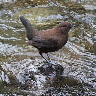Brown dipper Species of bird