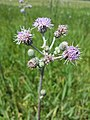 Cirsium brachycephalum sl11.jpg