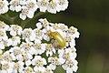 Cistèle jaune-Cteniopus sulphureus-4488.jpg